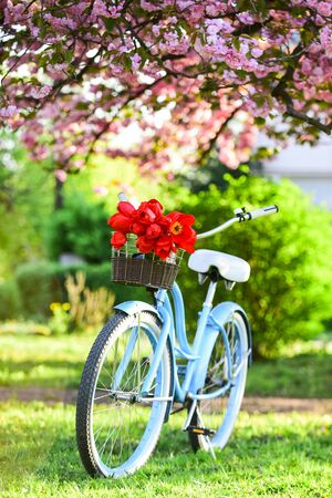 beauty of spring. retro bicycle with tulip flowers in basket. vintage bike in park. sakura blossom in spring garden. nature full of colors and smells. relax and travel. romantic date. season of love.