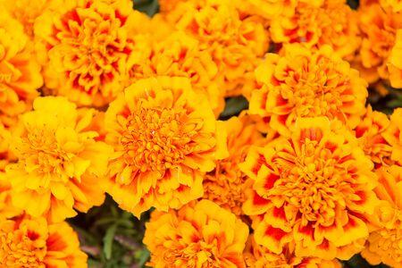 Brighten up any landscape. Marigold tagetes background. Flower garden and gardening. Gardening and landscaping. Gardening and horticulture. Gardening hobby. Floral shop. Summer flower bloom