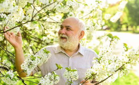 Old man enjoy cherry flowers. Bearded grandfather in garden. Man enjoy spring nature. Gardening hobby. Botanist examine tree. Curiosity to botany. Explore world around. Pensioner in garden sunny day