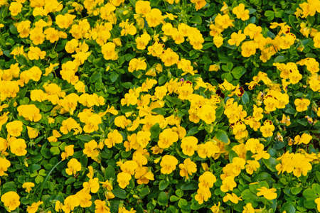 Pansy flowers in bloom in Hamilton, Bermuda. Yellow pansy flowers with green leaves. Flowers blossoming in garden. Flower shop. Spring or summer pansy bloom