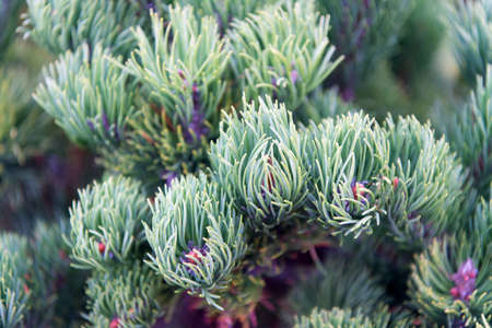 Spruce needles close up natural texture. Christmas mood for aroma. Fir tree needles on branches. Branch of fir tree green needles. Nature beauty texture. Fir needles soft and tender Archivio Fotografico
