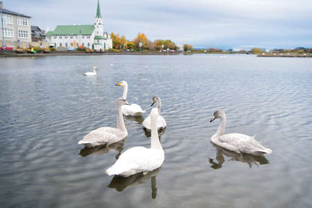 Swans in pond in reykjavik iceland. Swans gorgeous on grey water surface. Animals natural environment. Waterfowl with offspring floating on pond. Swans natural environment concept. Swan gorgeous bird