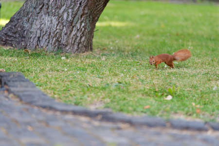 Protect and preserve. Red squirrel in natural park. Small tailed rodent on green grass. Cute fluffy animal. Natural landscape. Wildlife preserve. Nature reserve