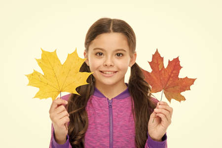 Happy small child play with autumn leaves. Kid isolated on white show leaves. Feelings of comfort and nostalgia we experience in autumn are hard to express. Kid girl hold fallen maple leaves