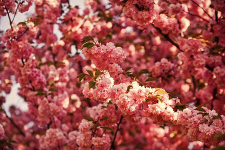 cherry tree blossom. blossoming pink sakura. spa treatment. aroma of female perfume. japanese sakura. pink sakura flower. floral background. spring blooming nature. warm summer day. beauty of season