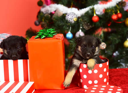 Doggies look out of striped and spotted Christmas boxes Stock fotó