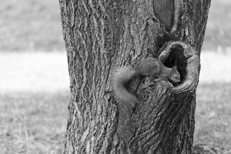 Know nature closely. Red squirrel climb tree trunk. Wild animal in natural environment. Cute rodent with fluffy tail. Nature park. Wildlife and fauna. To maintain ecosystem all creatures must live 免版税图像