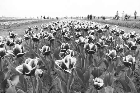 Floral business. Growing bulb plants. Gorgeous tulips. Blooming tulip fields in flower growing region. Spring park. Blooming field. Tulips festival. Floral background. Group of red tulips flowerbed