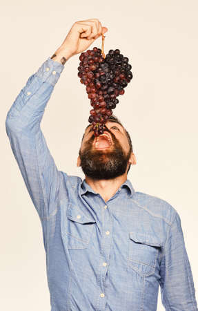 Winemaking and autumn concept. Man with beard holds bunch of black grapes above mouth