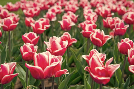 pink vibrant flowers. field with tulips in netherlands. tulip field with various type and color. nature landscape sightseeing in Europe. fresh spring flowers. gather the bouquet