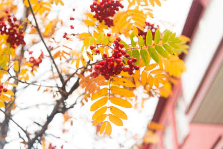 red ripe bunch of rowan with green rowan leaves in autumn. autumnal colorful red rowan branch. bunch of orange ashberry. beautiul garden. rich harbest in autumn season