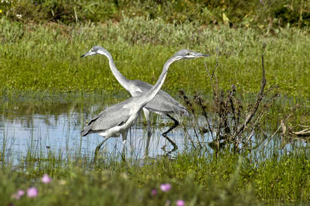 Herons looking for fish in a pool photo