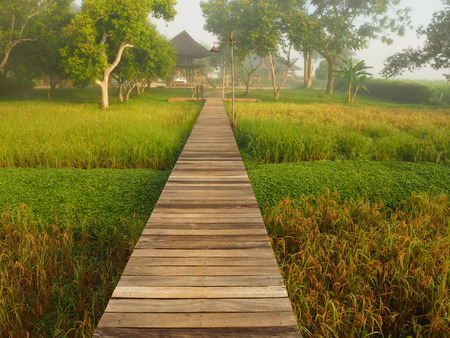 Wooden path stands midst rice field and faded mist. While sun shines on rice field and trees then appears as yellow and green color around the path. Stock Photo