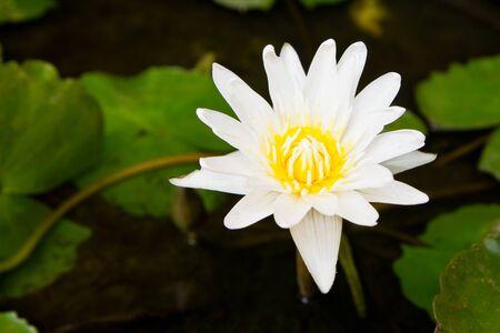 watergarden: white lotus