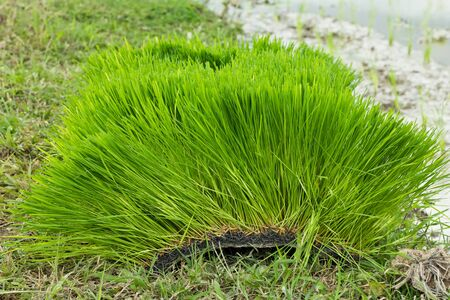 Young rice sprout ready to growing in the rice field