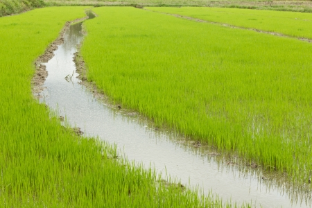 Young rice sprout ready to growing in the rice field Stock Photo - 14388700