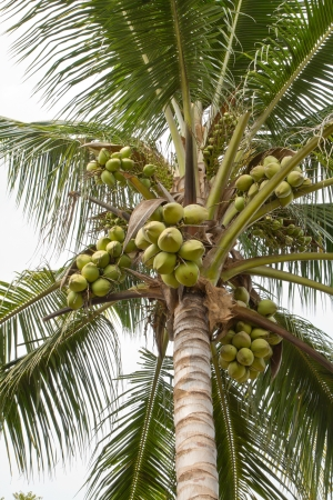 coconut tree Stock Photo - 14388703