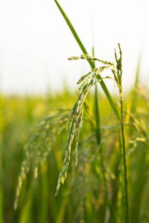 Rice field Stock Photo - 14388692