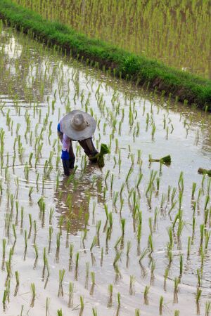 Asian farmers are planting rice in the farm