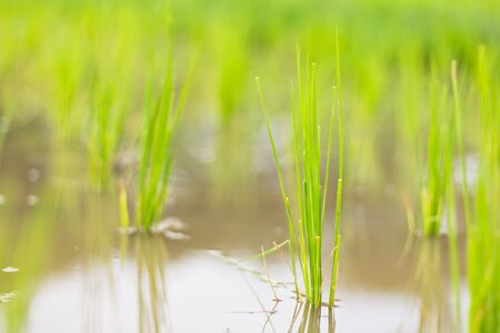 rice paddy: Young rice sprout ready to growing in the rice field