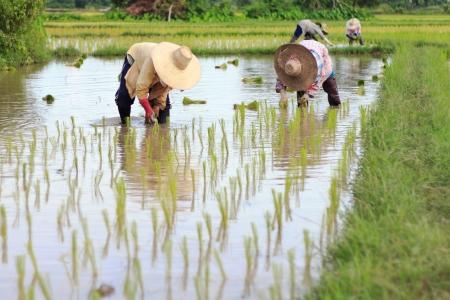 arroz chino: Agricultores asi�ticos est�n plantando arroz en la granja