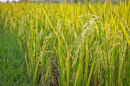 rice farm Stock Photo - 16243273