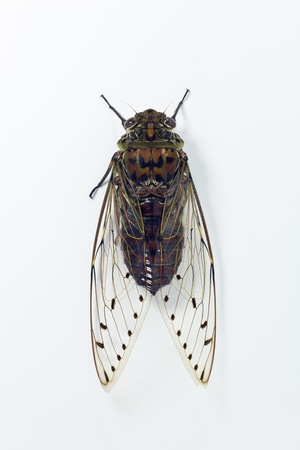 chant: cicada isolated on white background