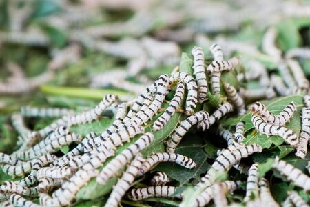 silk worm eating mulberry green leaf  Stock Photo