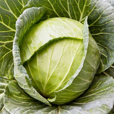close-up of fresh cabbage in the vegetable garden