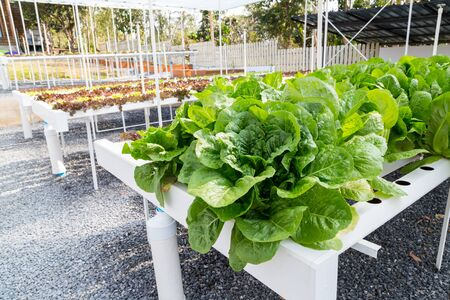 Purple, red and green hydroponic lettuce growing