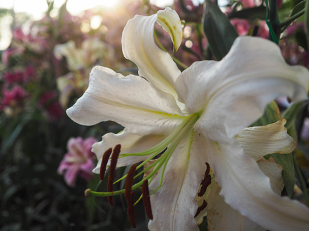 White lilies in the garden Stock Photo