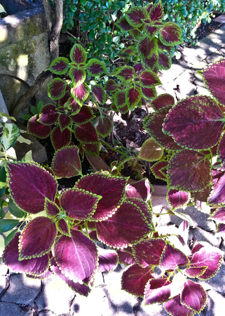 groundcover: purple and green coleus or called flame nettle or painted nettle