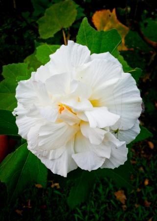 rosemallow: vicino colpo di cotone rosemallow in giardino Archivio Fotografico