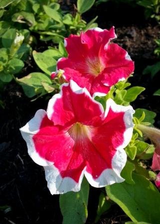 petunia in the garden in beautiful sunlight Stock Photo