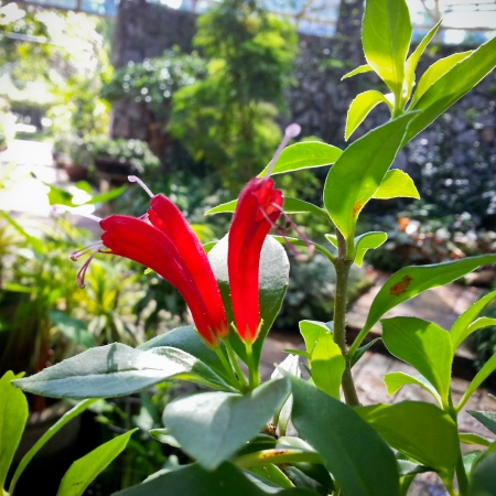 lamiales: aeschynanthus sp  or gesneriaceae or lamiales in beautiful sunlight Stock Photo