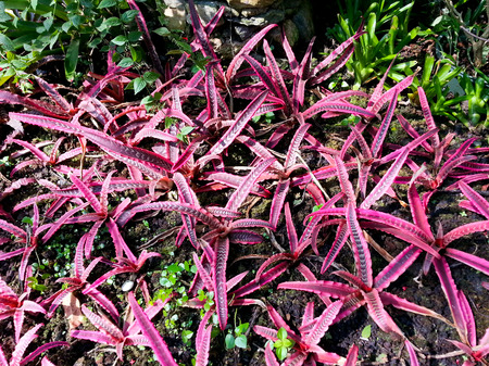 cryptanthus elaine in star shape pink and white striations