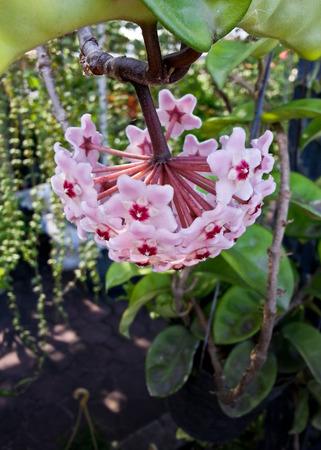 spp: wax plant or hoya spp  or asclepiadaceae Stock Photo