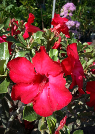 desert rose or adenium obesum balf or impala lily or mock azalea photo