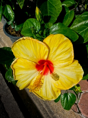 spp: close up shot of yellow china rose or shoe flower or hibiscus spp  or malvaceae