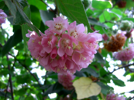 rosemallow: hibiscus mutabilis Stock Photo