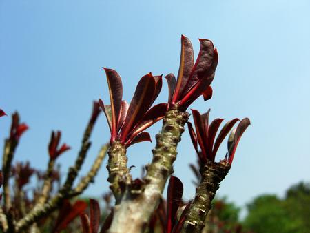 impala lily adenium or adenium obesum or desert rose or APOCYNACEAE Stock Photo - 25856511