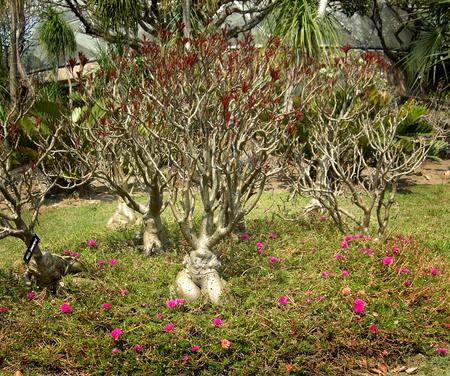 impala lily adenium or adenium obesum or desert rose or APOCYNACEAE Stock Photo - 25856522