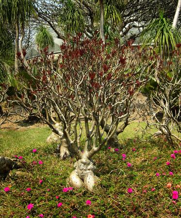 impala lily adenium or adenium obesum or desert rose or APOCYNACEAE Stock Photo - 25856525