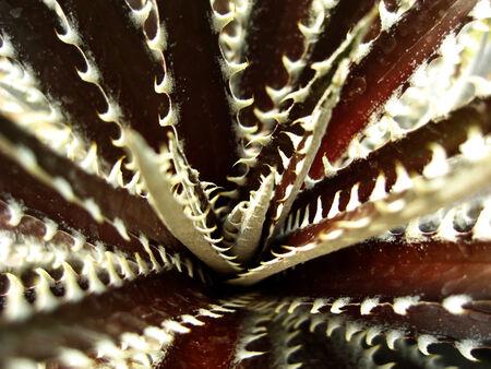 dyckia: dyckia cactus Stock Photo