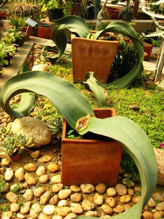 mirabilis: welwitschia mirabilis