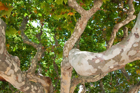 Trunks of a sycamore  Barcelona  Catalonia, Spain  photo