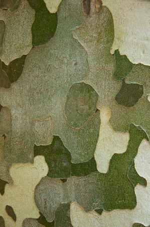 wrinkled rind: Plane tree,cortex in Barcelona park  Stock Photo