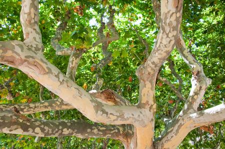 sicomoro: Tronchi di un albero di sicomoro Archivio Fotografico