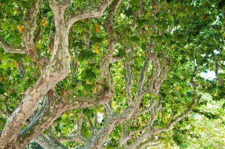 sicomoro: Tronco di un albero di sicomoro Archivio Fotografico