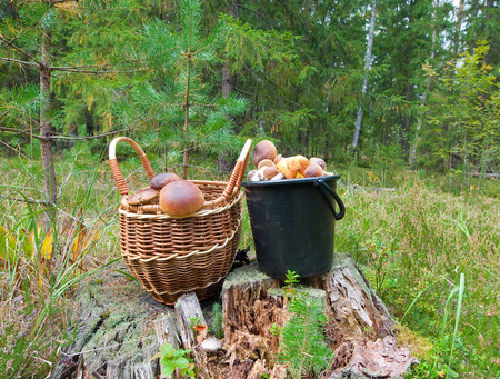 piny: Boletus edulis in a piny forest. Stock Photo